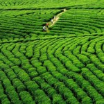 Vast Green Tea plantation