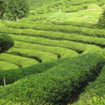 Plantation of Green Tea