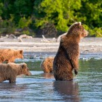 Standing straight big bear looking for the best place for fishing. Meanwhile her cubs are learning from their mother how to fish. Kamchatka region, Russia. Photographer Sergei Krasnoshchekov