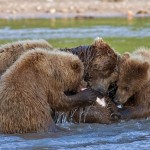 Eating together – Mother bear and cubs. Kamchatka region, Russia. Photographer Sergei Krasnoshchekov