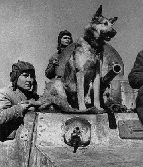 Djulbars-dog veteran of World War II