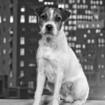Talented actor, Uggie as 'Jack' in The Artist