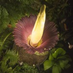 The plant has the smell of decomposing mammal, Titan Arum
