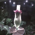 The last time Titan Arum blossomed in the Swiss botanical garden was in April 2011