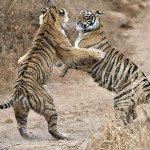 Two tigers in confrontation