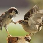 Sparrows in confrontation