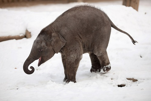 Baby elephant enjoying the snow