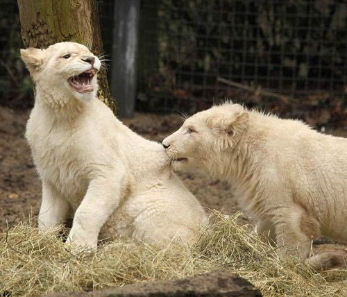 The beauty of White lions. Belgrade Zoo has become known as a center of natural reproduction of white lions