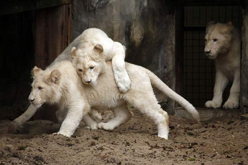 Blue-eyed white lions exist and may be selectively bred.