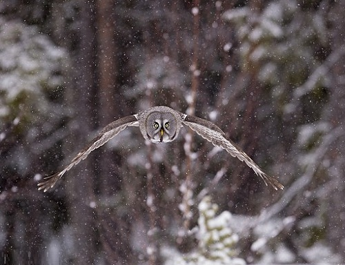 Phantom of the north - Great Grey Owl. Photo by British Wildlife photographer Jules Cox