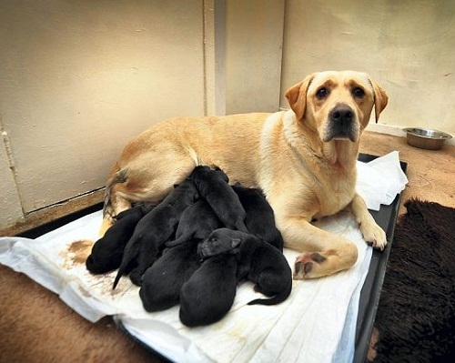 12 Black puppies born on 12.12. 2012. Lucy the Labrador with pups