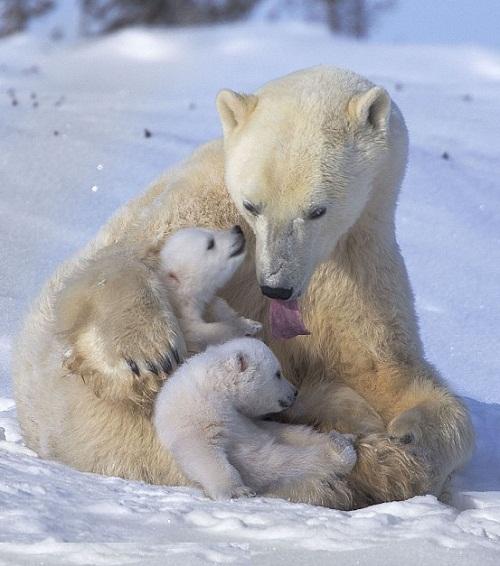 Polar bears paradise