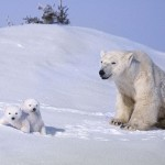 A family of Polar bears in Waspusk National Park in Canada, by American photographer Keren Su