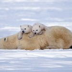 Life of Polar bears in Waspusk National Park in Canada, by American photographer Keren Su