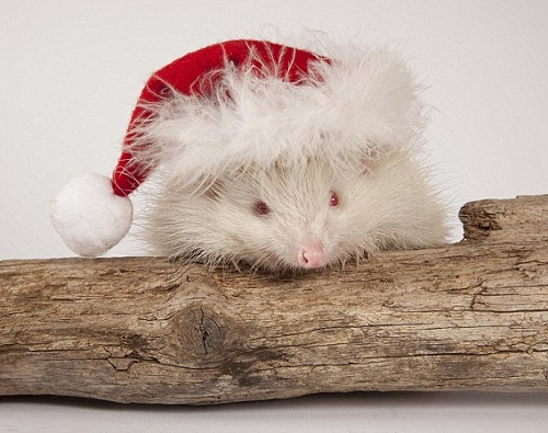 Rescued Albino hedgehog, named Snowball. Tiggywinkles wildlife hospital, Buckinghamshire, England
