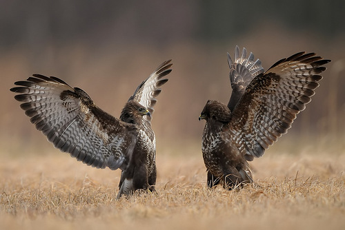 Restless life of Falcons by photographer Robert Babisz