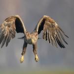 Flying falcons by Polish photographer Robert Babisz