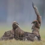Life of Falcons by Polish photographer Robert Babisz