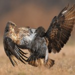 Dialogue. Restless life of Falcons by Polish photographer Robert Babisz