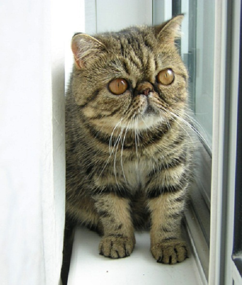 The Exotic shorthair