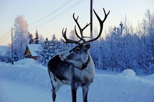 Looking for Santa deer