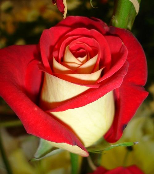 Bicolor rose Osiria