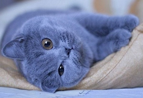 Beautiful Blue animals natural wonder The British Shorthair