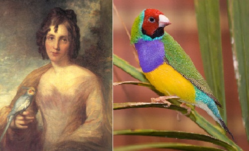 Beautiful Finch Lady Gould history