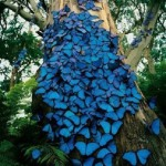 Blue tropical butterflies