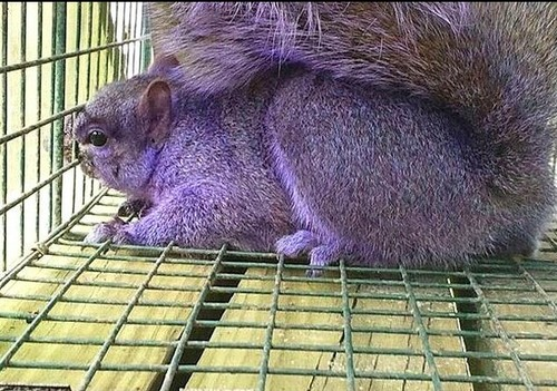 Purple-blue squirrel, Jersey Shore, Pennsylvania