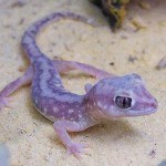 Blue spotted Gecko