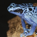 Dart Frog or poison frog