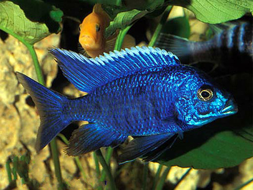 electric blue african cichlid - photo #19