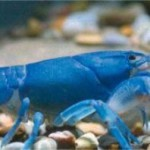 Blue shrimp