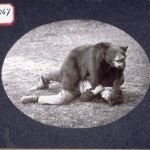 A man wresting with a trained bear. There have been instances of bears killing their trainers.