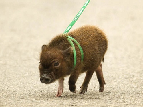 Adorable mini pig Fergus