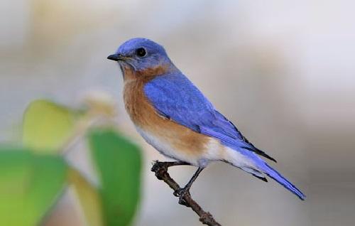 An Eastern Bluebird (Sialia sialis)