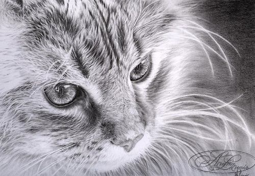 Pretty cat. Hyperrealistic pencil drawings by French self-taught artist Anna Lenoir