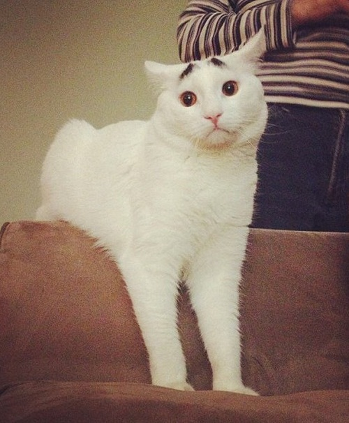 Sam - white cat with brows