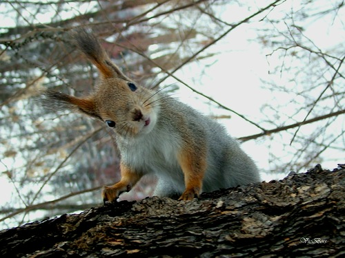 Squirrel. Photographer Viktor Samoilov
