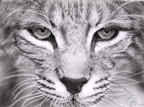 The bobcat. Hyperrealistic pencil drawings by French self-taught artist Anna Lenoir