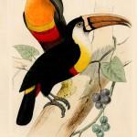 Antique prints of exotic birds published by Lemaire in Histoire Naturelle des Oiseaux Exotiques, Paris