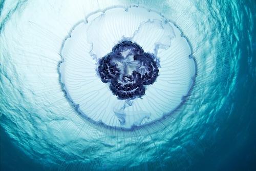 Eared Aurelia (Aurelia aurita). Deep-sea creatures by Russian photographer Alexander Semenov