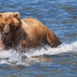 Hunting for salmon, photographer Yuri Sorokin