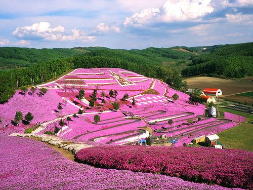 Pink carpet of beautiful flowers Shiba zakura