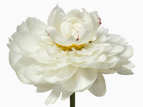 White blooms by American fashion photographer Paul Lange