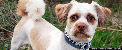 """photo of Chuchi, a Peekapoo (Pekingese and poodle mix) that looks and acts like a """"grumpy old man,"""" according to Jane Pierantozzi, director of Faithful Friends Animal Society, the no-kill Delaware shelter that took care of the pup."""