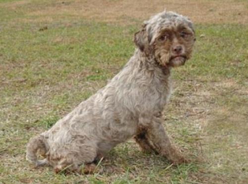 two-year-old Shih Tzu, human faced dog Tonik