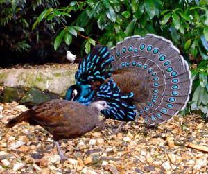 Beautiful blue bird - Palawan Peacock Pheasant