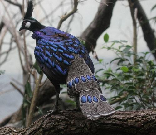 Beautiful blue bird Palawan Peacock Pheasant